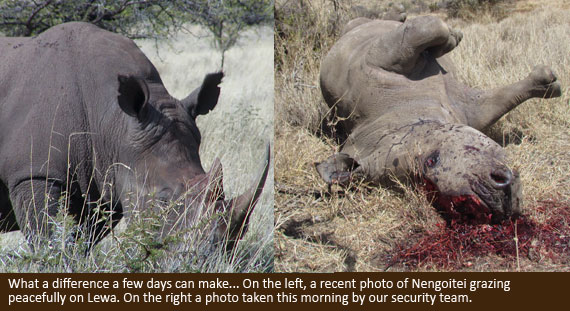 Poached rhino on Lewa
